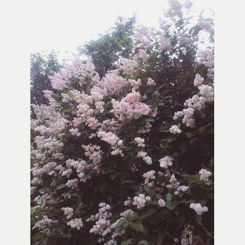 каждый вечер катаемся на велосипедах 🚲 все цветет и очень вкусно пахнет 🌸 Summer Flowers Syringa лето сирень bloomingtree nature blossoming