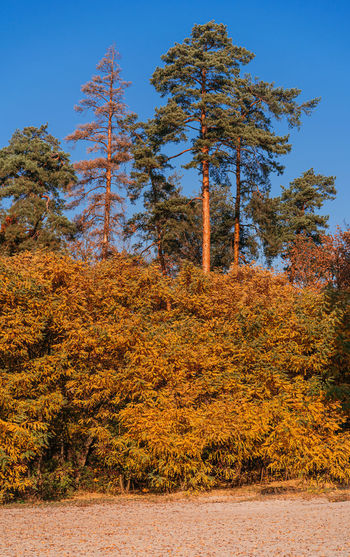 View of autumnal trees against blue sky