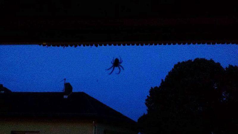 Spider Spider-man Pet Petsagram