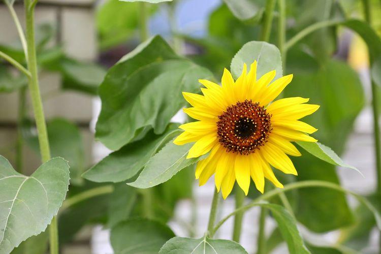 올해도 멋진 너를 많이 보고싶구나 . . #하루한컷 #해바라기 #가마쿠라 #5DMARK4 #새아빠백통 #EF70200F28LIIISUSM Flower Head Flower Yellow Leaf Sunflower Petal Insect Close-up Plant