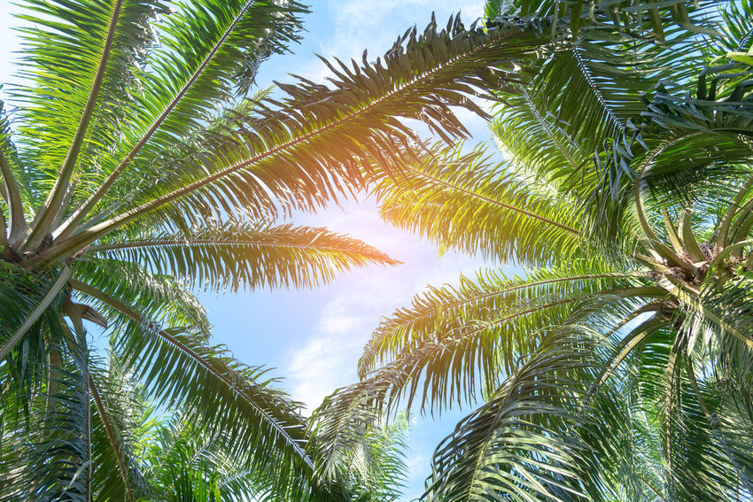 Bottom view of palm trees with blue sky, Palm trees at tropical beach. Beauty In Nature Coconut Palm Tree Day Directly Below Green Color Growth Idyllic Leaf Low Angle View Nature No People Outdoors Palm Leaf Palm Tree Plant Plant Part Scenics - Nature Sky Sunlight Tranquility Tree Tropical Climate Tropical Tree