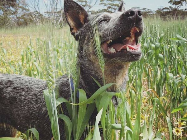 Grass Mouth Open Animal Themes One Animal Pets Domestic Animals Mammal Yawning No People Growth Nature Dog Close-up Outdoors Day Animal Call Australia