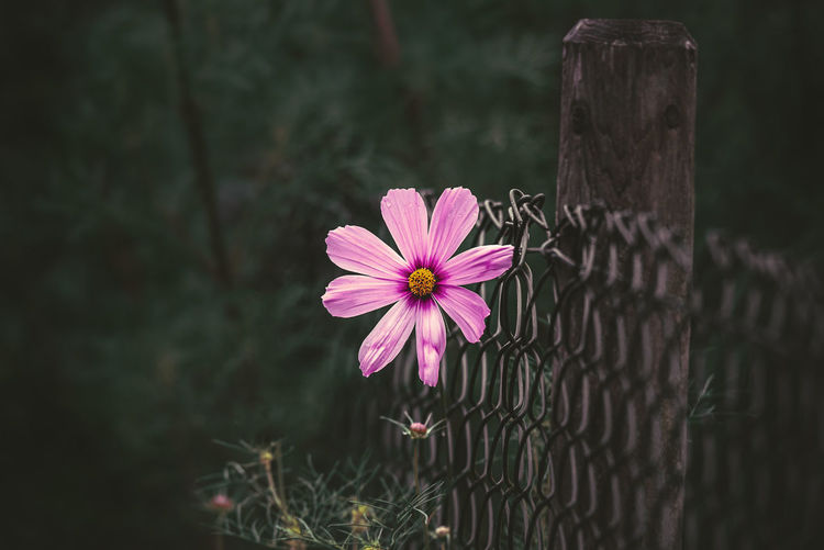a solitary flower i have seen blossom in a fence. Had to image it. Flower Flowering Plant Plant Freshness Fragility Petal Vulnerability  Beauty In Nature Fence Pink Color Flower Head Nature Growth Barrier Inflorescence Boundary Close-up Focus On Foreground No People Day Outdoors Pollen Purple Wooden Post