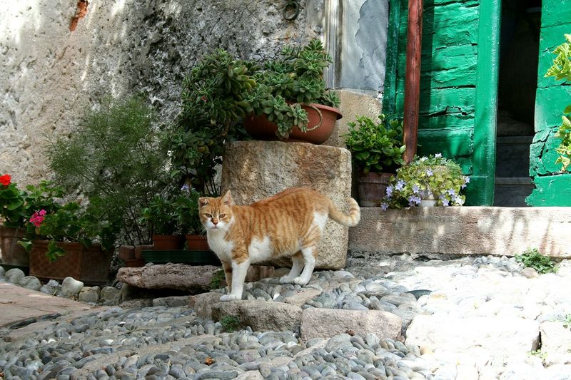 Animal Themes Mammal One Animal Domestic Animals Tree Plant No People Nature Outdoors Day Cat In The Street Outside Looking For Adventures Cat And Flowers Italian Cat Italian Front Door Liguria,Italy EyeEmNewHere Pet Portraits