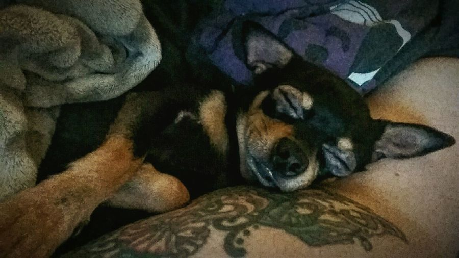 This is Jaxson Fur Babies Snugglebuddy Pets Are Family Teacup Chihuahua Little Dog Big Heart