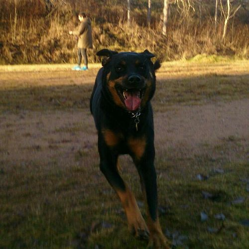 Rottweiler Doggystyle Doglover Got To Love Rottweilers