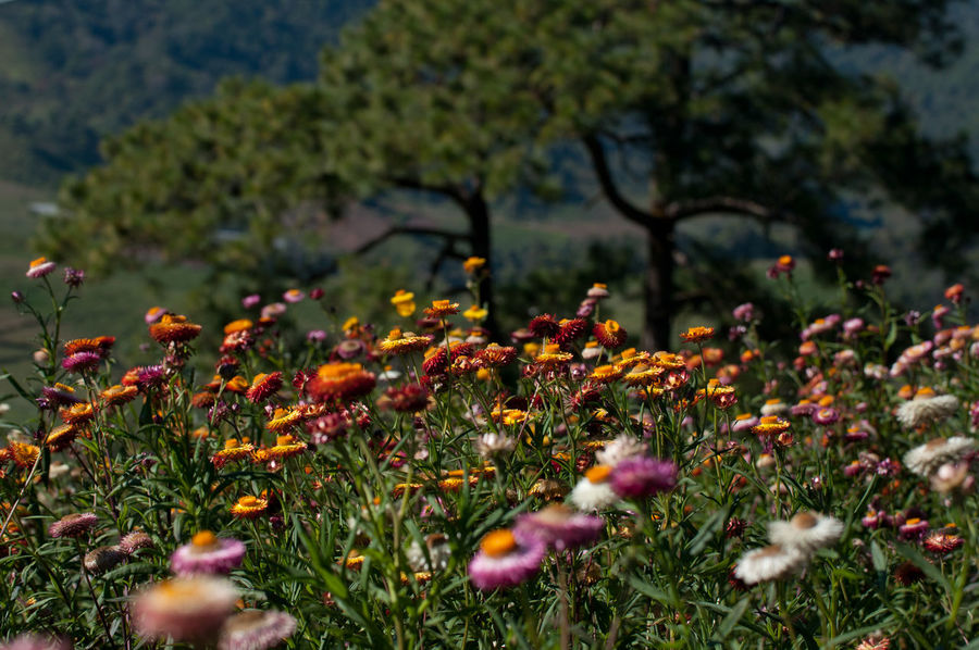 Everlasting Flower field Beauty In Nature Close-up Day Everlasting Flower Filed Flower Flower Head Fragility Freshness Grass Growth Nature No People Outdoors Plant Selective Focus Strawflower Tranquility Tree