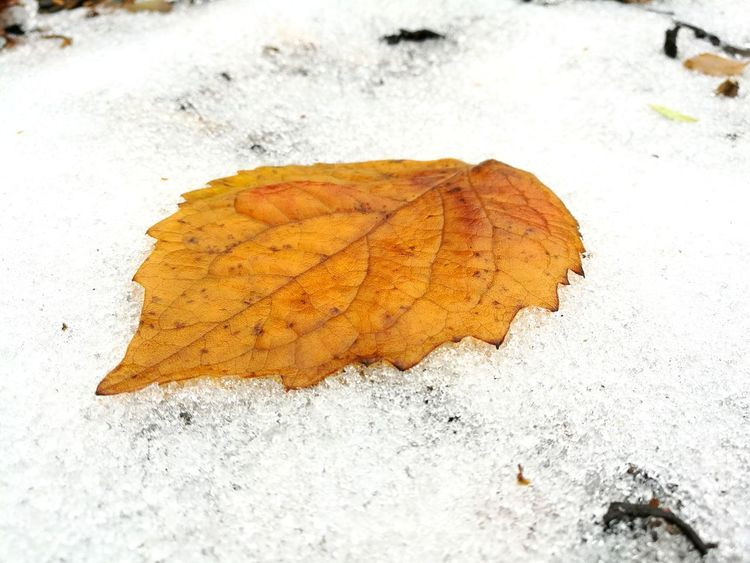 EyeEm Selects Leaf Autumn Change Nature Day Outdoors Close-up Cold Temperature Fragility Snow Ice Wet Wet Leaf Taking Photos Photography Photo Eyeemphotography Eye4photography  EyeEm Eyeemphoto Melting Ice Melting Snow Yellow Leaf Autumn🍁🍁🍁