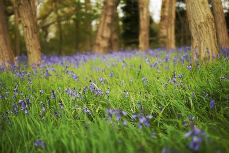 Bluebells Blue Outdoors Outdoor Flowers Flowers, Nature And Beauty In The Forest In The Woods