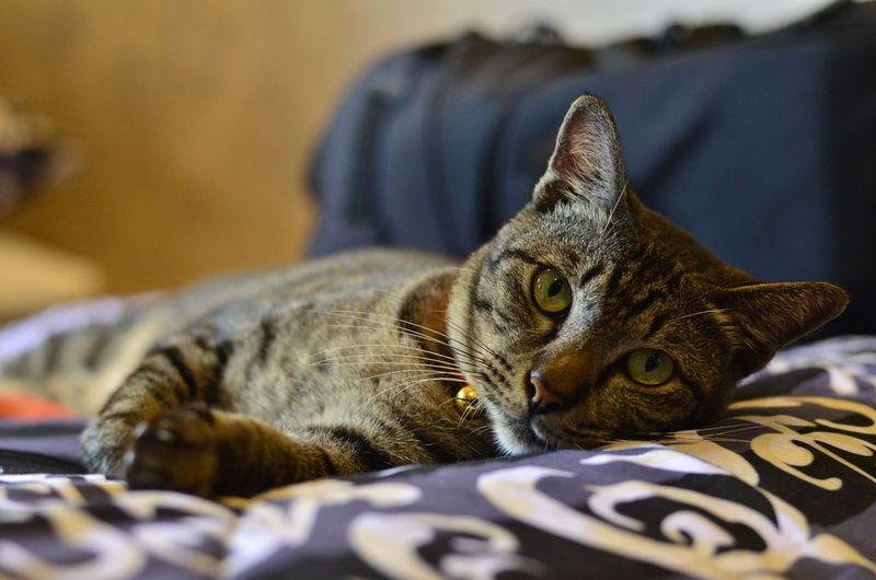 Portrait of a cat resting on bed