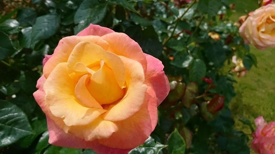 Colchester Colchester Castle Essex Roses Summer
