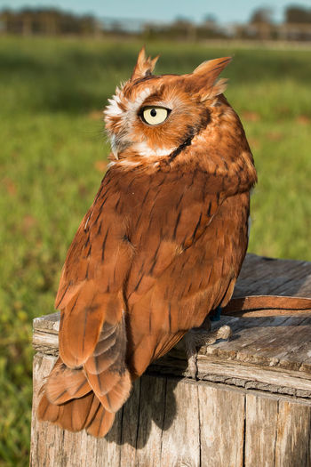 Screech Owl portrait Animal Themes Animal Wildlife Animals In The Wild Bird Bird Of Prey Brown Close-up Day Domestic Animals Focus On Foreground Grass Mammal Nature No People One Animal Outdoors Perching Portrait Wood - Material
