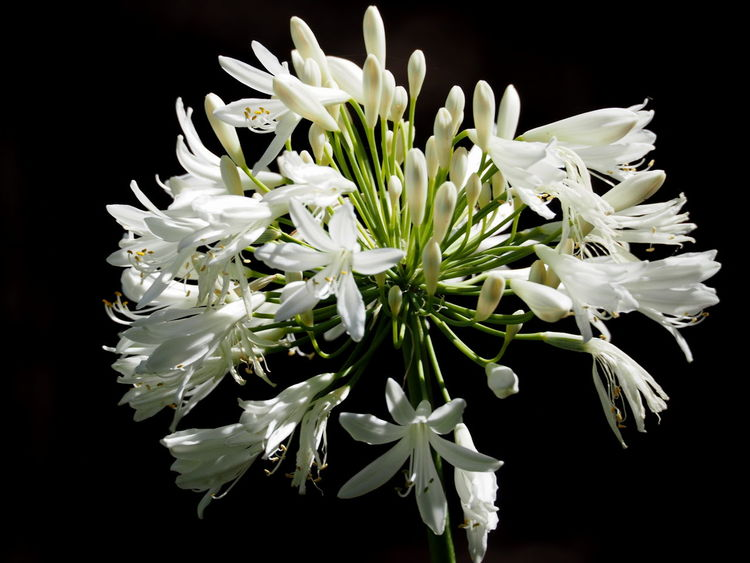 Agapanthus Blooming Close-up Flower Focus On Foreground Fragility Freshness Nature Softness Springtime