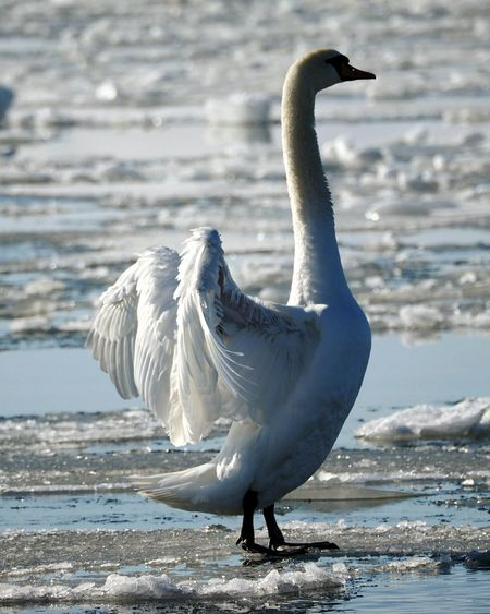 One Animal Bird Animals In The Wild Animal Themes Animal Wildlife Animal Full Length No People Water Beach Nature Spread Wings Outdoors Beauty In Nature Swan Frozen Sea Winter Nature Outside Spreading Wings Animals In The Wild Swansea Sunlight Cold Temperature Nature Sea Winter