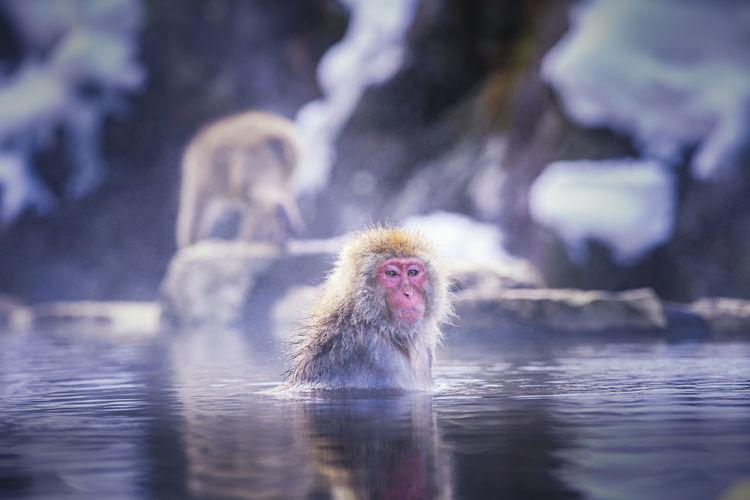 Red-cheeked monkey. during winter, you can see monkeys soaking in a hot spring at hakodate japan.