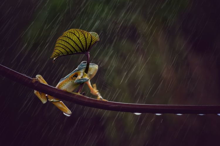 Tree frog in the rainy