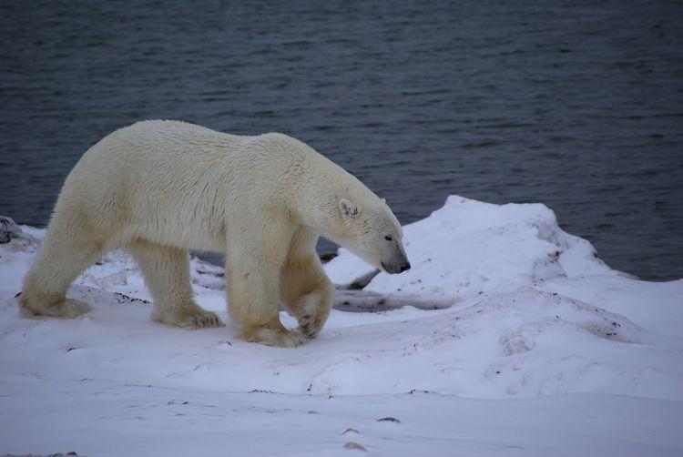 Polar Bear Walking On Snowcapped Field By Sea