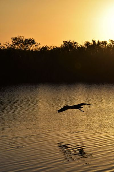 wow, did i get lucky ! he flew right in front of me . perfect timing !!!!!! thank youuu !!!! EyeEm Nature Lover Fly By Pure Photography Water Reflections Animals In The Wild Beauty In Nature Pure Nature Scenics Silhouette Sky Sunset Sunsetting On Water Tranquil Scene