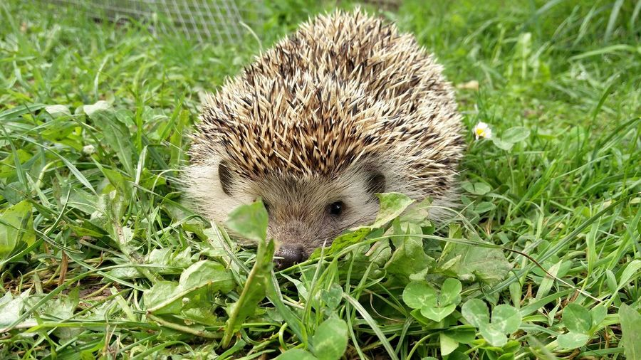 Close-Up Of Hedgehog On Green Grass