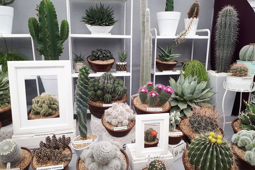 A prickly display Greenhouse Flower Variation Arrangement Plant Cactus Succulent Plant Prickly Pear Cactus Potted Plant Spiked Spiky Flower Pot Houseplant