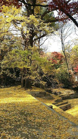 Golden Yellow Ginkgo Leaves Ginkgo Tree Autunn Changdeokgung Palace Secret Garden Seoul Korea Travel Photography