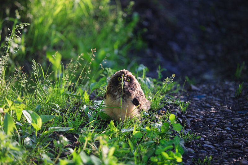 Young owl hiding behind the blade of grass. Animal Animal Wildlife Animals In The Wild Bird Bird Of Prey Day Grass Green Color Land Nature No People One Animal Outdoors Owl Owl Photography Selective Focus Siberia Sitting Wildlife Young Owl