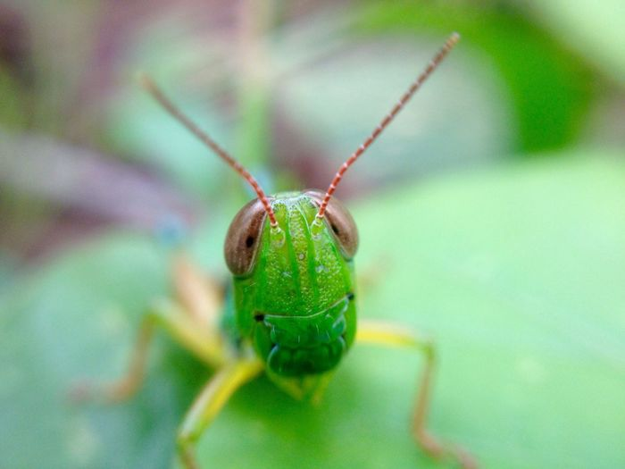 Animal Themes Wildlife One Animal Animals In The Wild Insect Close-up Green Color Focus On Foreground Animal Antenna Zoology Selective Focus Green Animal Head  Plant Nature Extreme Close-up Macro Bug Grasshopper Day Belalang