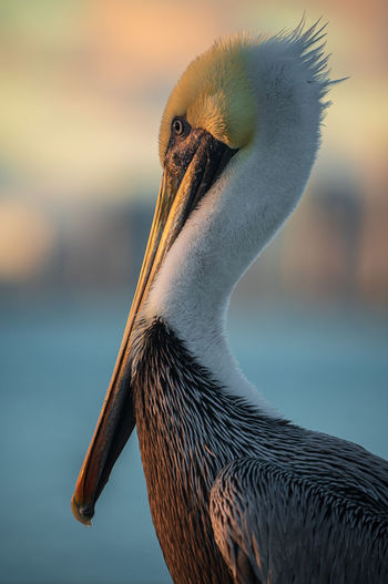 Close-up of pelican Animals In The Wild One Animal Animal Themes Animal Bird Animal Wildlife Focus On Foreground Close-up Animal Head  Animal Neck Freshwater Bird Outdoors Pelican No People Animal Body Part Nature Water Bird