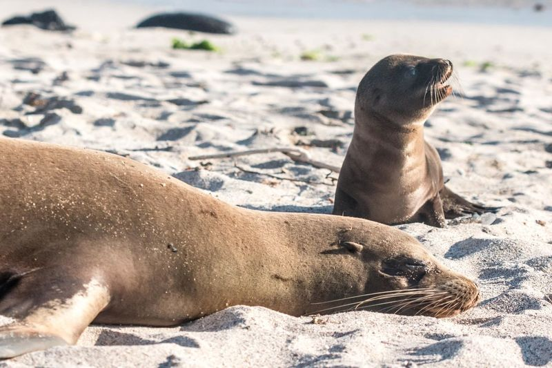 Adventuring Beach Ecuador Galapagos Juvenile Mischievous Mother And Child Sealion  Wildlife