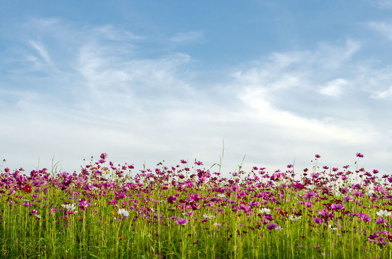 Cosmos flower plants growing on field against sky