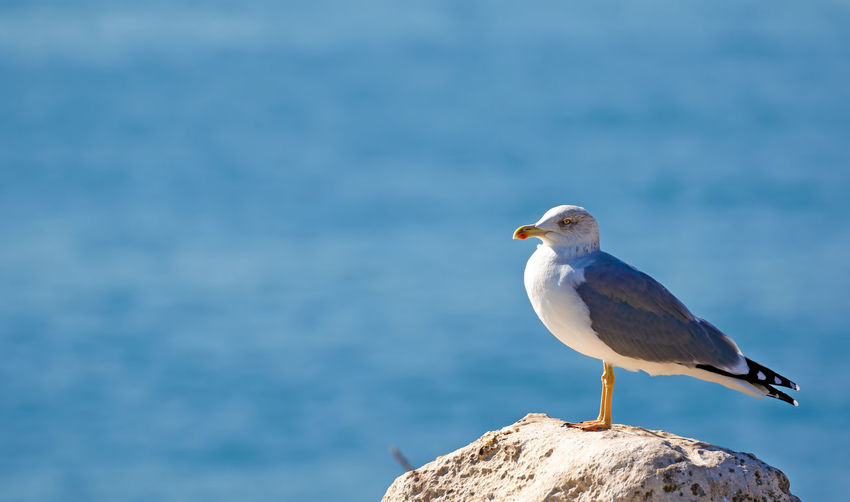 Side View Of Seagull Perching On Rock