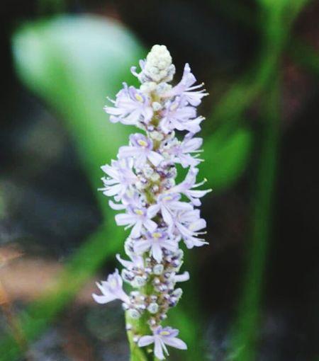 Hycinth flower in full bloom Hycinth In Full Bloom Swamp Flower Purple Flower Highlands Hammock