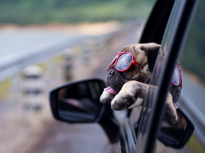 Dog Wearing Sunglasses In Car