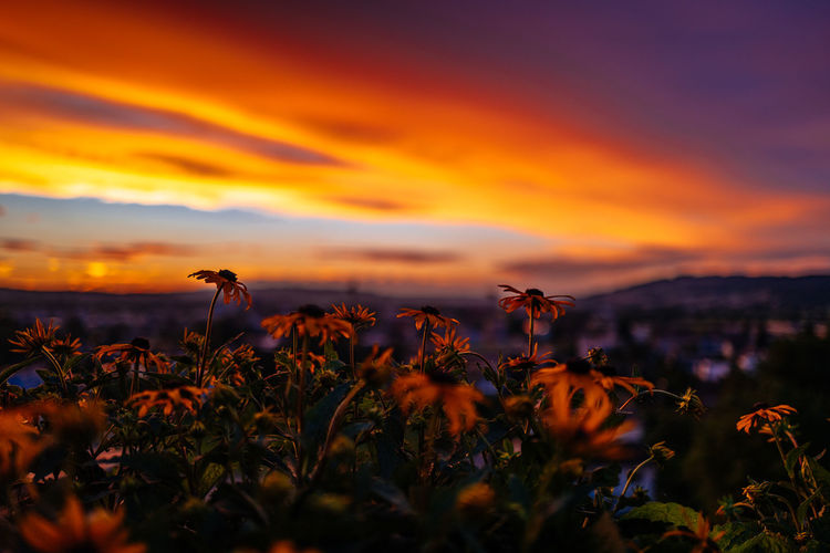 Black Eyed Susans Growing On Field Against Sky During Sunset