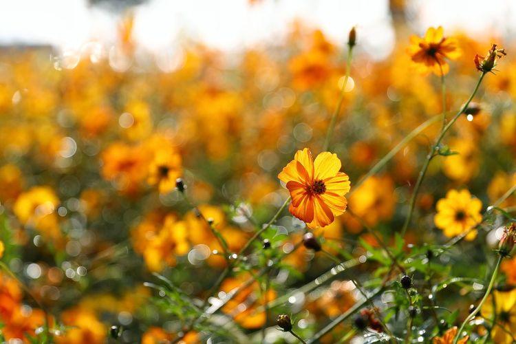 아침이슬 가득한 황화코스모스 . . #하루한컷 #물의정원 #가을 #황화코스모스 #5DMARK4 #새아빠백통 #EF70200F28LIIISUSM Flower Head Flower Botanical Garden Autumn Summer Yellow Beauty Close-up Sky Plant