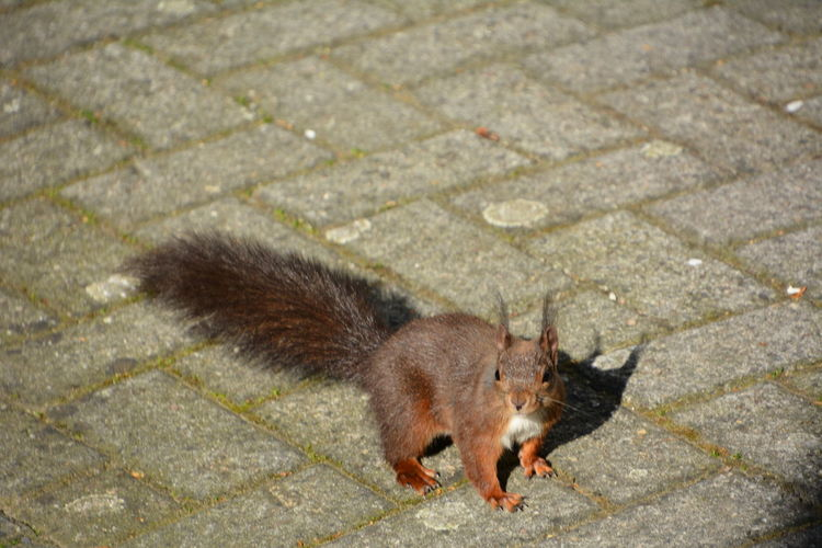 Squirrel Eichhörnchen Animals In The Wild Animal Themes Animal Mammal One Animal Domestic Footpath High Angle View No People Full Length Animal Wildlife Pets Day Domestic Animals Vertebrate City Outdoors Paving Stone Cat Domestic Cat