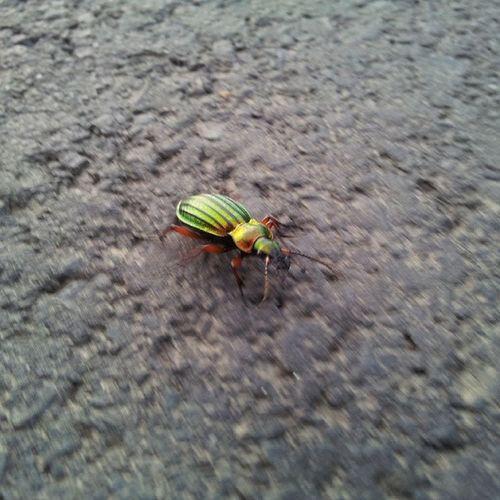Rainbow Maybug  Takiego Dzis Znalazłem Maluszka :-)