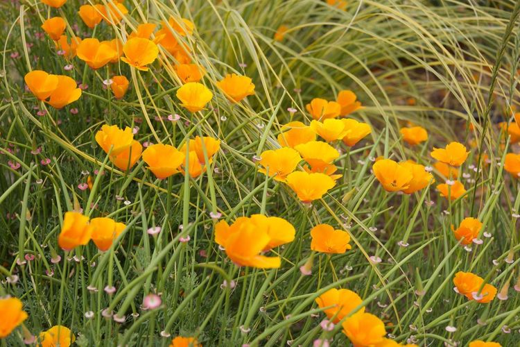 Pretty popping poppies Freshness Yellow Field Land Flower Head Close-up Inflorescence Nature No People Day Vulnerability