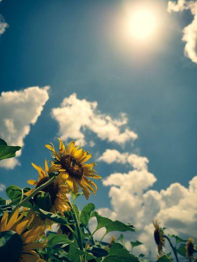 iOS版adobe Lightroomにてcross process効果を掛けてます。中間階調に青を乗せるようです。 Olympus OM-D E-M5 Mk.II Cross Process Tokyo Street Photography Sunflower Plant Flower Flowering Plant Freshness Growth Fragility Vulnerability  Sky Cloud - Sky Flower Head Sunlight Low Angle View