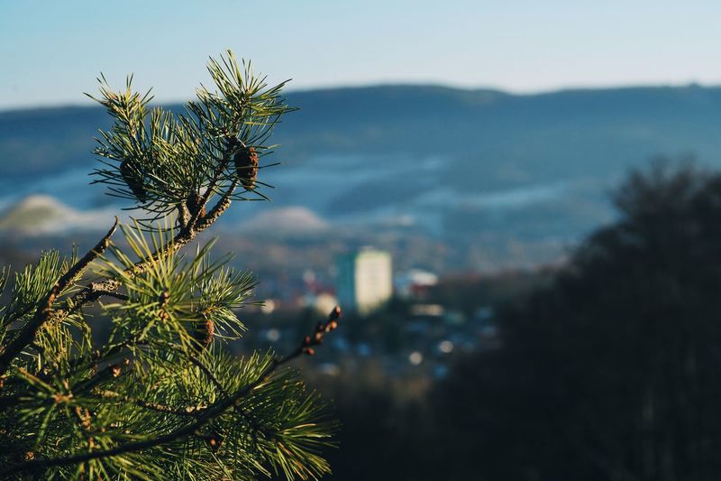 The little cones over the city Growth Nature Sky Tree Green Color Plant Cone Fir Cone Fir City Bokeh Blurred City Hill Mountain View Jena Winter Without Snow Branches Wood