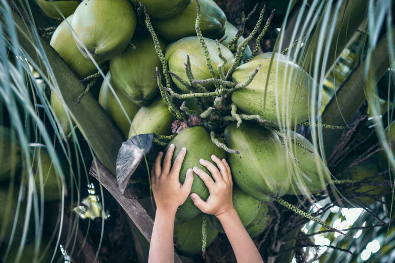 Travel Green Color Fruit Healthy Eating Freshness Holding Outdoors Close-up Nature Wellbeing Food And Drink Food Coconut Harvesting Coconut Tree Paradise Coconut Juice Vacation Thirst Quencher Drinks Coconut Drink Heavenly Taste Coconut Water Cocktail Plucking