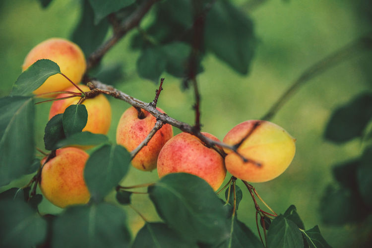 Apricot Apricots Beginnings Botany Branch Nature's Diversities Close-up Ripe Fruit Focus On Foreground Food Colour Of Life Fragility Freshness Fruit Growing Growth Healthy Eating Leaf New Life No People Red Ripe Selective Focus Stem Twig Food Stories