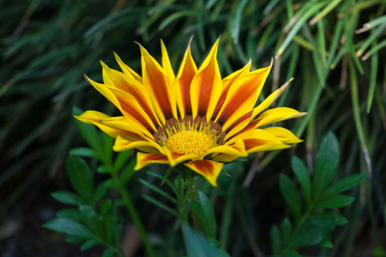 Close-Up Of Orange Gazania Blooming Outdoors