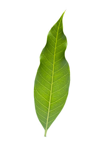 Isolated of green leaf collection on white background and clipping path.Image. Background Beautiful Botany Branch Bright Clipping Closeup Collection CutOut Decorative Design Detail Ecology Environment Exotic Foliage Forest Fresh Garden Green Greenery Growth Isolated Jungle Leaf Leaves Lush Macro Natural Object Organic Ornamental Outdoor Path Pattern Plant Rainforest Set Single Small Spring Summer Texture Tree Tropic Tropical Twig Vein White Wild