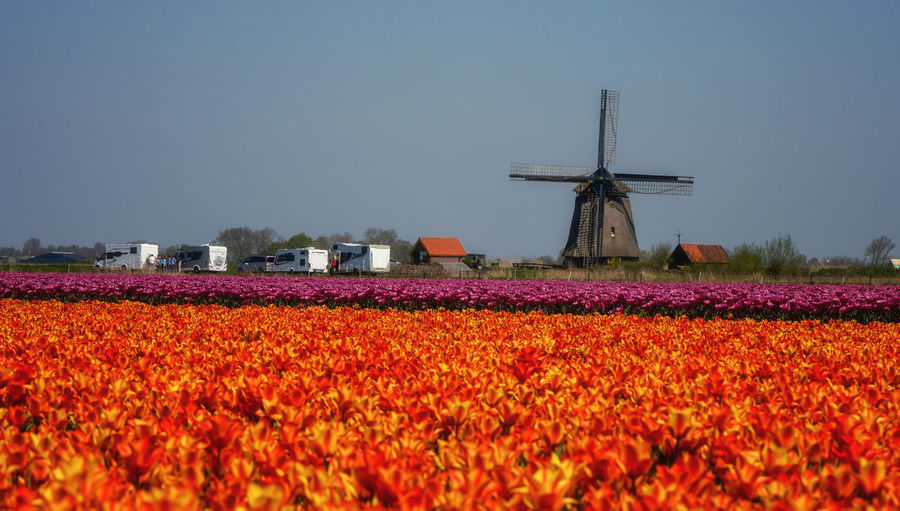 Tulip field blooming in springtime Flower Plant Environment Flowering Plant Field Landscape Beauty In Nature Nature Clear Sky Agriculture Flowerbed Outdoors Holland Dutch Netherlands Tourism Campervan Tulips Spring Springtime Tulips In The Springtime Tulipseason Nederland Windmill Traditional Windmill Blooming