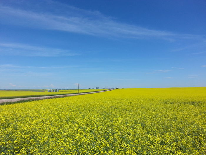 Nature Scenics Environment Clouds And Sky Beauty In Nature Green Color Beauty Field Agriculture Horizon Over Land Outdoors Sunlight Blue Yellow Canola