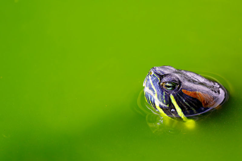 Animal Eye Animal Themes Animal Wildlife Animals In The Wild Close-up Day Green Color Nature No People One Animal Outdoors Reptile Swimming Tortoise Water