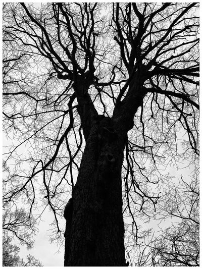 Tree Silhouette at Camperdown Park in Dundee Trees Tree And Sky Silhouettes Tree_collection  Tree Silhouette Branches Trees And Sky Black And White Eyeemphotography Eye4photography  EyeEm Gallery EyeEm Nature Lover Eyemphotography Nature Nature_collection Nature Photography Natural Beauty