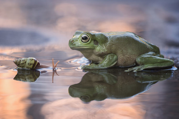 Snail and Frog at sunset Summer Sunlight Animal Beauty In Nature Beautiful Exotic Small Snail Snails Color Smallworld Frog Green Beauty Eye Macro Photography Macro Sunset Water Reflection Close-up Animal Scale Amphibian