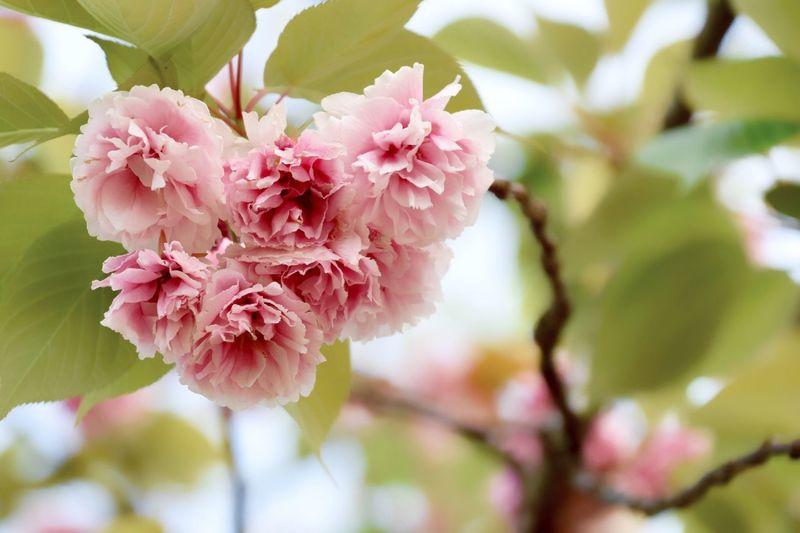 八重桜 桜 お散歩Photo Double-flowered Cherry Tree Cherry Blossoms Cherry Blossom Cherry Tree Spring Flowers Pink Flower Flowers Nature_collection Nature Naturelovers Natural Beauty 半分くらい散ってた。